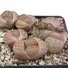 Lithops Coleorum SH1500